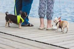 两条滑稽的狗enjoing步行反对水他们的所有者的背景和腿 免版税库存图片