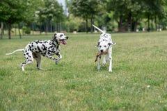 两条年轻美好达尔马希亚狗跑 免版税库存图片