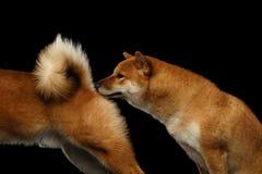 两条什巴inu狗,被隔绝的黑背景 免版税库存图片