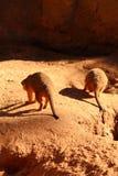 两条Meerkat尾巴 图库摄影