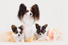 两条Papillon狗母亲和她的小狗 库存照片