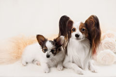 两条Papillon狗母亲和她的小狗 免版税库存图片