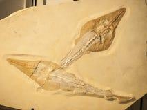 两条Rhynobatos鱼化石  免版税库存图片