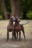 两条xoloitzcuintli狗 免版税库存照片