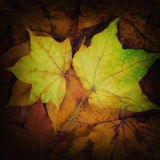 两枚金币叶子-颜色正方形 免版税库存图片