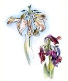 两枯萎的郁金香,图表,水彩剪影,被隔绝 库存图片