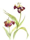 两枯萎的郁金香,水彩剪影,被隔绝 免版税图库摄影