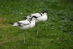 两染色长嘴上弯的长脚鸟 库存图片