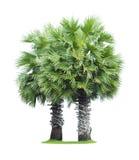 两树头梭flabellifer (亚洲扇叶树头榈棕榈,棕榈汁,糖 库存照片