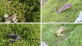 两栖纲蟾蜍,青蛙和蝾螈在青苔的氚核 录影拼贴画 股票录像