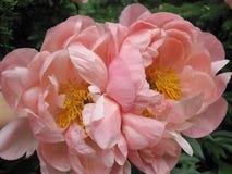 两株浅粉红色的牡丹 库存照片