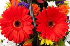 两根美丽的红色大丁草。 免版税库存图片