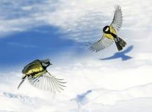 两根逗人喜爱的美丽的山雀振翼的宽传播翼和羽毛 库存照片