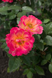 两桃红色和黄色玫瑰 图库摄影