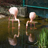 两桃红色火鸟和反射在水中 图库摄影