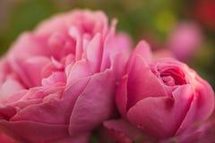 两桃红色细节的玫瑰关闭 库存图片