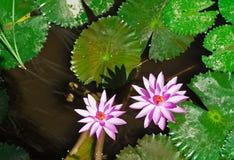 两桃红色莲花在池塘 免版税库存照片