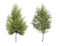 两桦树 免版税库存照片