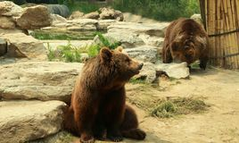 两棕熊inBeijing的动物园 免版税库存照片