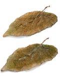 两棕色叶子 库存图片