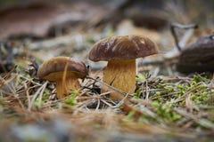 两棕色美丽的杉木牛肝菌蕈类特写镜头采蘑菇 免版税库存照片