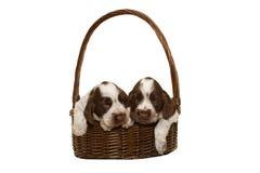 两棕色英国猎犬小狗  图库摄影
