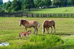 两棕色起草和一匹微型马在农场土地 免版税库存图片