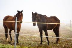 两棕色马在封入物 库存图片
