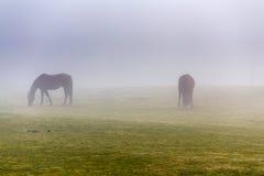 两棕色马在封入物 免版税图库摄影