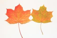 两棵五颜六色的槭树 免版税库存照片