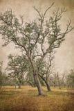 两棵倾斜的南部橡树树 图库摄影