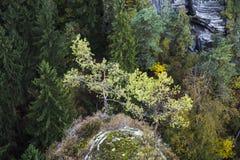 两棵具球果杉树在岩石生苔山增长 库存图片