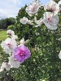 两棵口气木槿灌木 库存图片