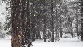 两棵大树在雪风暴四分之一速度站立 股票录像