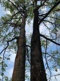 两棵大树高的角度一起代表树荫 免版税库存图片