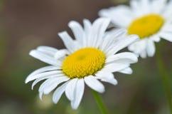 两棵大白色和黄色花春黄菊 关闭 自然本底 库存图片