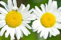 两棵大白色和黄色花春黄菊 关闭 自然本底 免版税库存照片