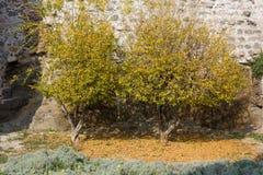 两棵小树对中世纪大厦墙壁 免版税库存图片