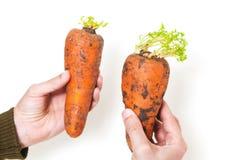 两棵成熟红萝卜在男性手上 库存图片