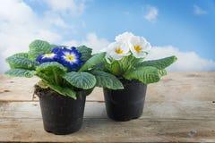 两棵报春花植物樱草属寻常的杂种盆的春天流程 库存照片