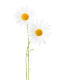 两棵春黄菊 免版税库存照片