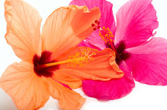 两棵木槿花 库存照片