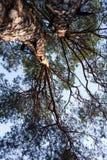两棵杉树剪影  库存照片