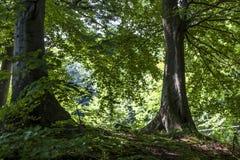 两棵树在森林里 库存照片