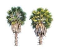 两棵树头梭flabellifer树或柬埔寨棕榈树隔绝了o 图库摄影