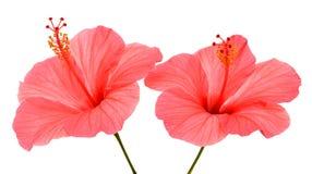 两棵桃红色木槿 图库摄影