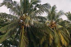 两棵棕榈树用年轻椰子 加勒,斯里兰卡 免版税库存图片