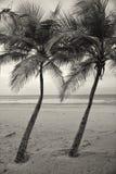两棵棕榈树 库存照片
