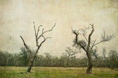两棵死的南部橡树树 库存照片