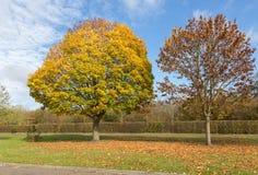 两棵秋季树在一个明亮的晴天 库存照片